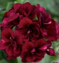 10 Pcs Seeds Dark Burgundy Geranium Perennial Flower- RK  - $14.00