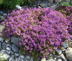2 Variety Beautiful Creeping Thyme Ground Cover Thymus Serpyllum Bulk Seeds - $96.99+