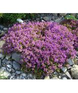 2 Variety Beautiful Creeping Thyme Ground Cover Thymus Serpyllum Bulk Seeds - $96.99+