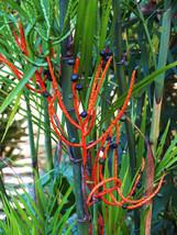 EXOTIC COLOR orange Bamboo Palm Chamaedorea seifrizii Reed palms seed 30 seeds - $18.00