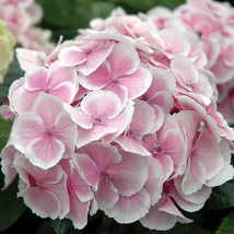 25 Hydrangea Fire And Ice Seeds - Pinks Purples White - $18.96