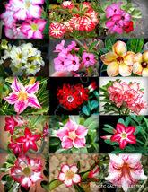 ADENIUM MIX flowering rare exotic desert rose caudex bonsai mixed seed 5 seeds - $18.00
