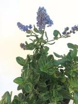 "Ceanothus Griseus Horizontalis ""Yankee Point"" Plants Mature Shrub - $13.77"