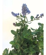 "Ceanothus Griseus Horizontalis ""Yankee Point"" Plants Mature Shrub - $13.77"