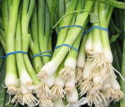 500 Evergreen White Bunching Onion Seeds NON-GMO Heirloom Gardening - $1.79