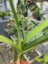 Vandopsis lissochiloides Orchid Plant Blooming Size SPECIES   image 5