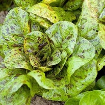 Lettuce Romaine Freckles Non GMO Heirloom Vegetable Seeds Sow No GMO® - $2.96+