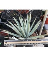 Agave macroacantha Ridged Blue Leaves Small Hemisphere Succulent Plant 16 - $24.95