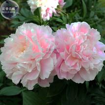 Peony Bright Light Pink Flowering Flower Seeds big blooms home garden, 5pcs - £9.07 GBP