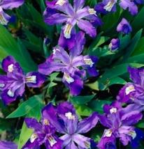 10 Bulbs - Nice Quality Dwarf Crested Iris Cristata #FSPL1 - $29.99