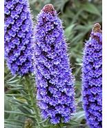 15 Seeds, Pride of Madeira Plants, - $13.86