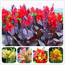 100 Pcs/Pack MIX Beautiful flower Small canna lily seeds, Garden plant - $3.37