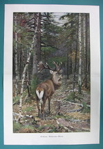 """MAJESTIC DEER in Forest - VICTORIAN Era Print 14"""" x 21"""" COLOR - $13.46"""