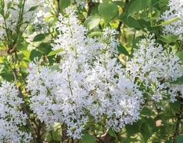 STARTER PLANT - SYRINGA 'NEW AGE WHITE'- FRAGRANT - APPROX 7-10 INCH - G... - $35.99