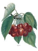 Vintage Fruit Prints: Bigarreau - Fruit Growers Guide - 1880 - $12.95+