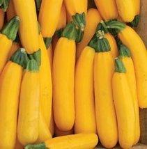 25 Seeds Squash Summer - Gold Rush Vegetable - $25.74