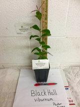 Blackhaw Viburnum (Viburnum prunifolium) image 2