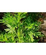 1000 Artemisia annua Seeds,Sweet Wormwood, Sweet Annie, Sweet sagewort, - $8.00