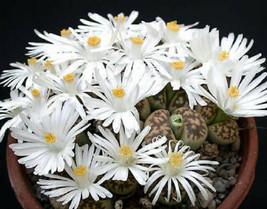 LITHOPS KARASMONTANA rare living stone mesemb pebble succulent seed 30 seeds - $8.99