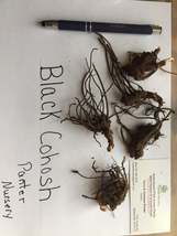 Black Cohosh 5 bulb/root Bugbane, Black Snakeroot image 3