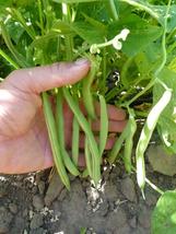 Bean Seeds - Bush - Harvester  - Vegetable Seeds - Outdoor Living - Garden - $34.99+