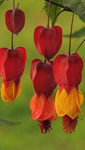 50 Rare Red Orange Bleeding Heart Seeds Dicentra Spectabilis Shade - TTS - $23.95