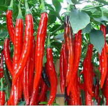 Pepper cayenne 1 thumb200