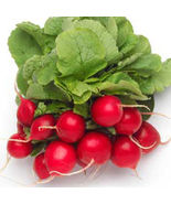 SHIP FROM US CHERRY BELLE RADISH SEEDS ~ 50 LB SEEDS - NON-GMO, HEIRLOOM... - $479.96