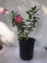 Vine with pink flowers - $35.00