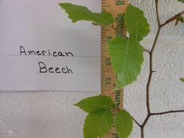 American Beech (fagusgrandifolia) quart pot image 4