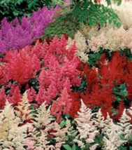 50 Pcs Seeds Astilbe Arendsii Bunter Mixed Flower -  RK - $6.00