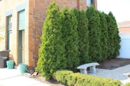 "EMERALD GREEN Arborvitae 3"" pot (Thuja occidentalis) image 4"