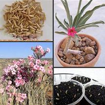 100PCS Very Graceful Adenium Oleifolium Bonsai Flower Seeds IMA1 - $59.95