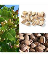 5 Pcs Pistachio Nut Tree Seeds #MNSF - $16.00