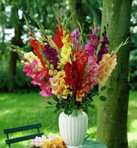 Gladiolus bulbs (corms) - Mix color. (15 Bulbs) Summer flowering Perennial - $34.45