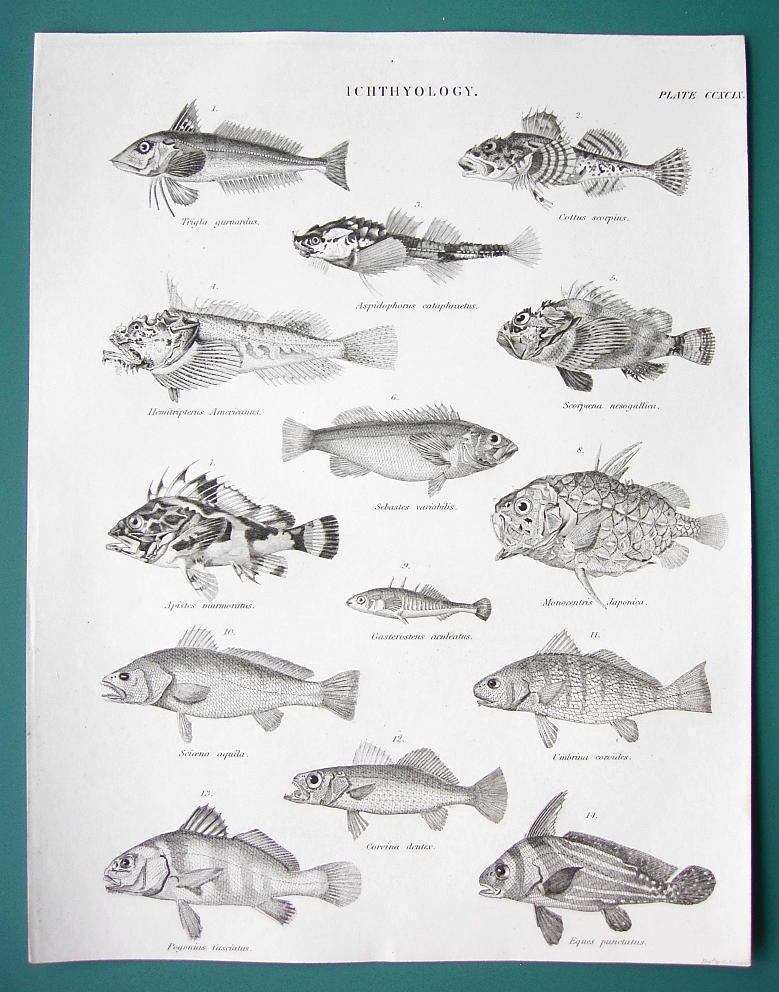 FISHES Gurnard Bullhead Rockfish Scorpion Drumfish - c. 1835 Fine Quality Print