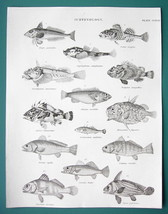 FISHES Gurnard Bullhead Rockfish Scorpion Drumfish - c. 1835 Fine Qualit... - $19.80