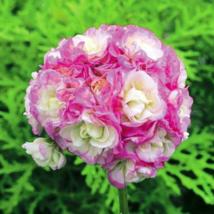 20pcs Wonderfull Pelargonium Hortorum Perennial Flower  - $15.90