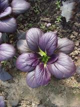 Edible Purple Rape 20 seeds natural organic green healthy balcony vegetable seed - $13.05