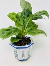 "Green Parayer- Maranta 4"" Porcelain Elgance Pot - $26.45"