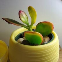 Jade Succulent in Yellow Self-Watering Pot, Live Plant Hummel's Sunset Crassula image 5