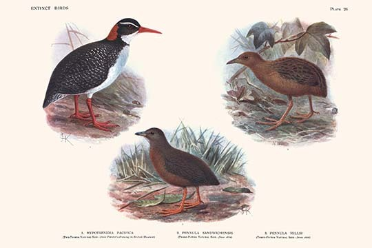 Primary image for Hypotaeenidia Pacifica, Penula Sandwichensis, Pennula Millsi by Lionel Walter Ro