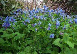 Virginia Bluebell 10 roots native wild flower shade lover (Mertensia) image 4