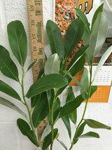 SWEETBAY MAGNOLIA qt. pot  Laurel Magnolia, Swamp Magnolia - (Magnolia virginian image 5