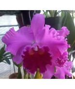 Blc. Fritz Nicholas 'Spring Dance' Cattleya Orchid Plant Blooming Size 4... - $22.49