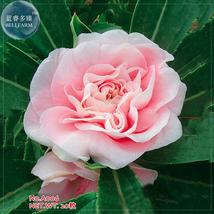 BEST PRICE 20 Seeds Pink Garden Balsam Impatiens Flower,DIY Flower Seeds A006 DG - $4.99