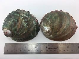 #5 Haliotis Kamtschatkana Assimilis Abalone Set Of 2 87.7-94mm - $12.86