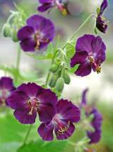 50 Dark Purple Geranium Seeds Hanging Basket Perennial Flower - TTS - $29.95