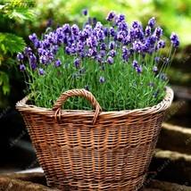 100 PCS Chinese Romantic Decoration Purple Lavender Seeds Bonsai Beautiful - $2.16