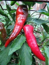Cyklon - a bold and beautiful red hot pepper - $4.50